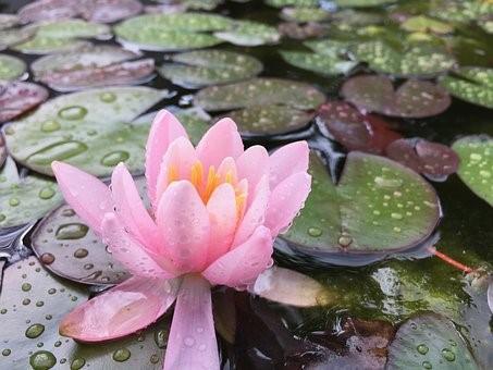 Lac, Étang, Fleur, Lily, Lotus, Nénuphar